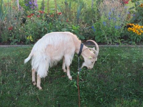 jardin de tuileries - goat 1